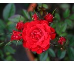 Rosa Vermelha - Climbing Rose Red - 20 un.