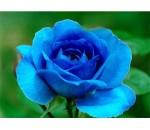 Rosa Azul - 20 un.