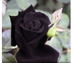 Rosa Negra - 20 un.