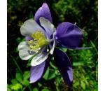Aquilegia vulgaris - 50 un.