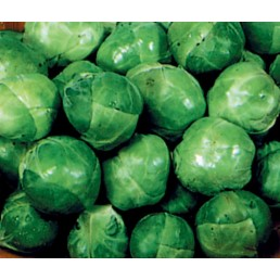 Couve de Bruxelas - Brassica olerassica