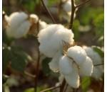 Algodão - Gossypium herbaceum - 20 un.
