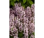 Tomilho - Thymus vulgaris - 100 un.