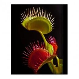 Dionéia - Dionaea muscipula