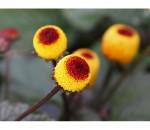 Jambu - Spilanthes Acmella - Medicinal - 50 un.