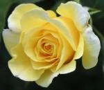 Rosa Amarela - 20 un.