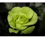 Rosa Verde - 20 un.