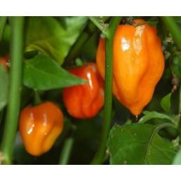 Habanero Laranja - Capsicum chinense