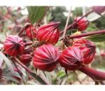 Vinagreira - Roselle