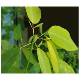 Planta Dançante - Desmodium gyrans