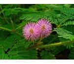 Dormideira - Mimosa pudica