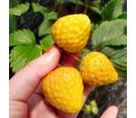 Morango Amarelo - Fragaria vesca