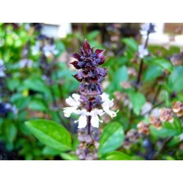 Manjericão Canela - Ocimum basilicum 'Cinnamon'