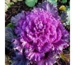 Couve Ornamental - Brassica oleracea acephala