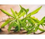 Estragão - Artemisia dracunculus