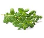Manjerona - Majorana hortensis