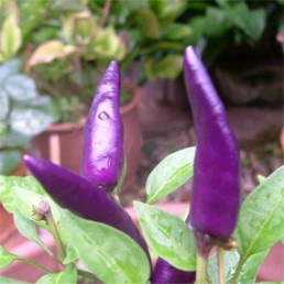 Purple Prince - Capsicum frutescens