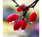 Fruta do Milagre - Synsepalum dulcificum