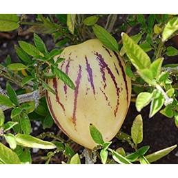 Pepino Melão - Solanum muricatum