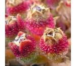 Iceplant (planta gelo) - Mesembryanthemum Crystallinum