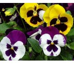 Amores Perfeitos - Viola tricolor maxima