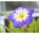 Bons-dias - Convolvulus tricolor