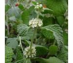 Marroio - Marrubium vulgare