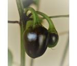Cascabel - Capsicum annuum