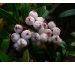 Cereja Branca da Tasmânia - Gaulteria hispida