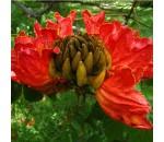 Espatódea - Spathodea campanulata