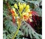 Flor-de-Índio - Erythrostemon gilliesii