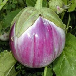 """Berinjela Redonda """"Sfumata di Rosa"""" - Solanum melongena"""