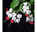 Lágrima-de-Cristo - Clerodendrum Thomsonae