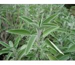 Salvia - Salvia officinalis