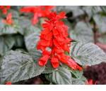 Salvia Vermelha - Salvia splendens