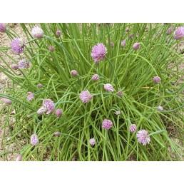 Cebolinho - Allium schoenoprasum