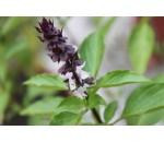 Manjericão da Tailândia - Ocimum basilicum