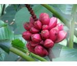 Banana Rosa - Musa velutina