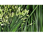 Cebolinha Chinês - Allium tuberosum