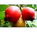 Araçá Vermelho - Psidium cattleianum - 20 un.