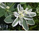 Neve da Montanha - Euphorbia marginata