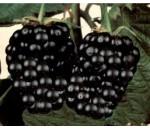 Amora Preta - Rubus fruticosus - 20 un.