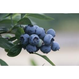 Mirtilo - Vaccinium myrtillus