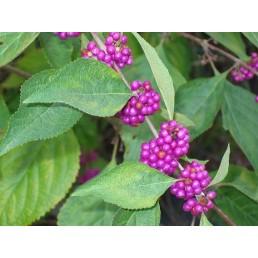 Beautyberry - Callicarpa americana