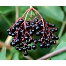 Sabugo - Sambucus nigra