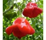 Pimenta Campainha - Capsicum Baccatum - 20 un.