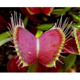 Dioneia - Dionaea muscipula