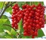 Fruta dos 5 sabores - Schisandra chinensis
