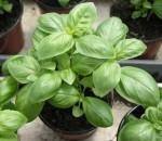 Manjericão Genovese - Ocimum basilicum