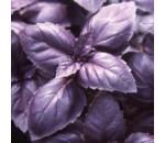 Manjericão Roxo - Ocimum basilicum